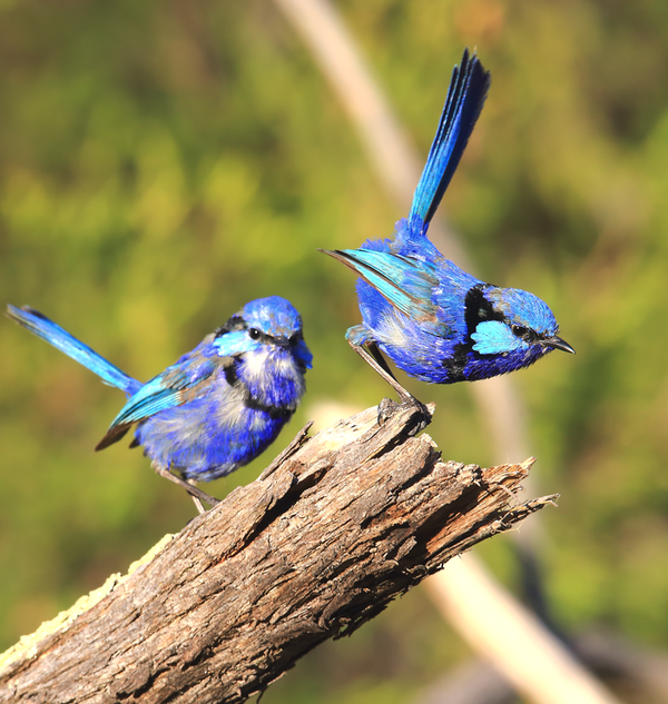 Blue Wren Two Young