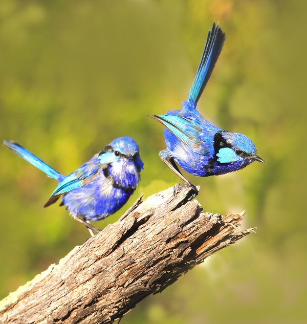 Blue Wrens Young2a