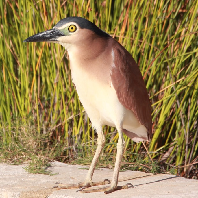 Nankeen_Night_Heron