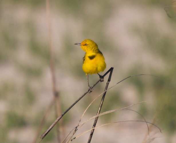 Yellow Chat 4